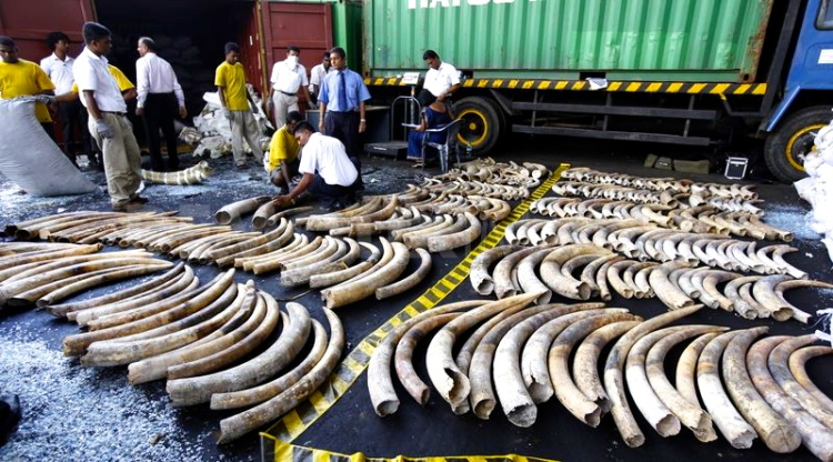 1337700546-sri-lankadubai-elephant-tusk-smuggling-ring-smashed-in-sri-lanka_1229170