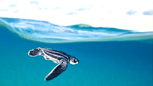 549898-leatherback-turtle